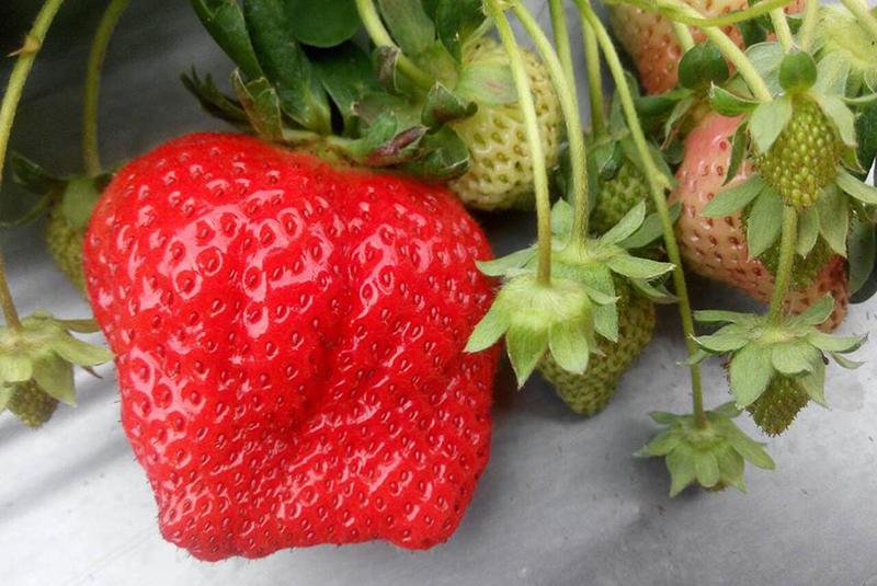 南湖坑吉園圃觀光草莓園-祥哥草莓園/威哥草莓園
