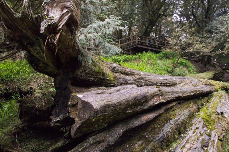 新八景之阿里山神木遺跡
