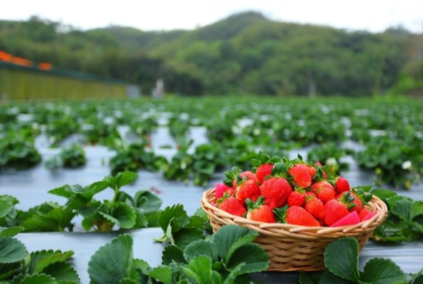 一日農夫之春日好時草莓季